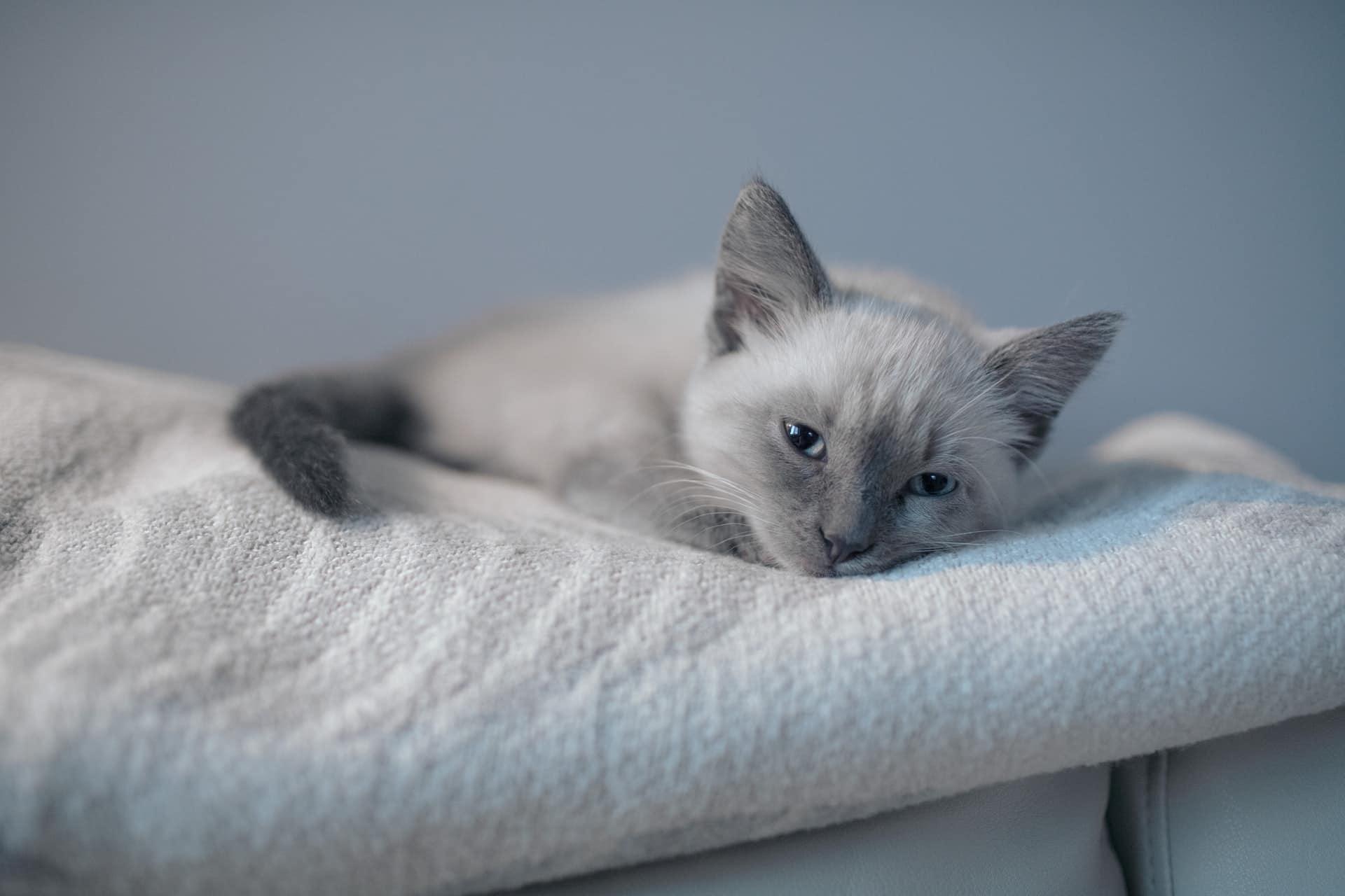 Siamese Cat Skin Problems