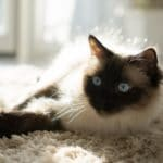 Are Siamese Cats Good as an Apartment Cat?